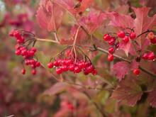 Reife Rote Beeren Des Gemeinen Schneeball Hängen In Trauben An Kleinen Zweigen