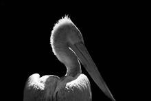 Pelican On Black Background