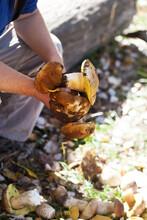 Porcini Mushrooms In Hand Of M...