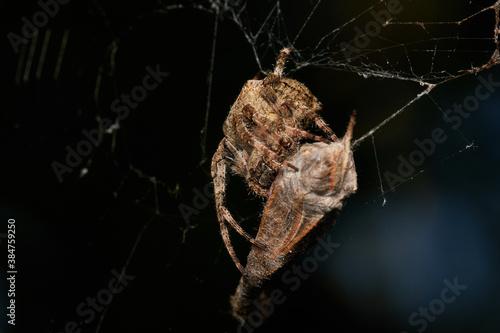 Fotografía Garden spider with prey in summer morning, Danube forest, Slovakia, Europe