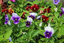 Wild Pansies, Viola Tricolor, Also Known As Johnny Jump Up.