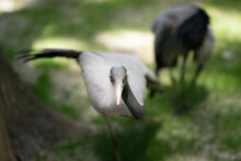 Demoiselle Crane Or Anthropoid...