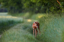 Roe Deer In Natural Environmen...