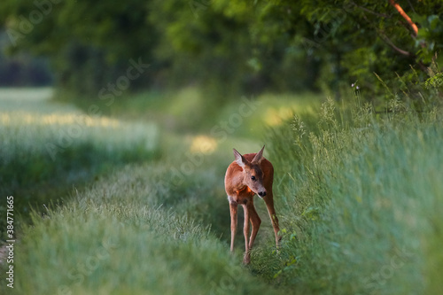 Roe deer in natural environment, danube wetland, Slovakia, Europe Canvas-taulu