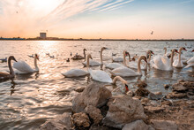 A Flock Of Swans On The River ...