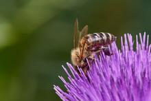 Wild Bee Pollinating Purple Thistle On Danube Meadow, Slovakia, Europe
