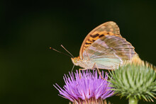 Silver Wasked Fritillary Butterfly Sitting On Wild Thistle, Danube Wetland, Slovakia, Europe