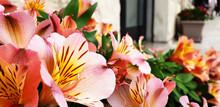 Pink Flowers Alstroemeria Bloo...
