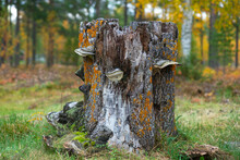 Tree Stump With Fungus In Scandinavian Forest In Autumn