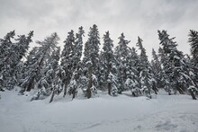 Snowy Pine Trees On A Winter M...