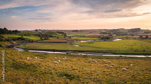 Fototapeta Sheep and Cattle on banks of River Aln, as it approaches the North Sea at Alnmouth, now tidal, it meanders through farmland past Mount Pleasant. obraz