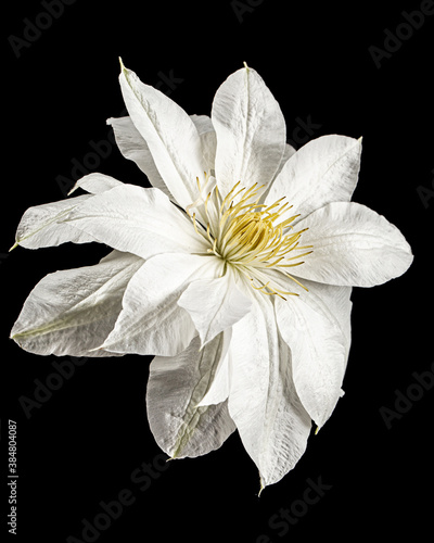 Fotografia, Obraz White flower of clematis, isolated on black background
