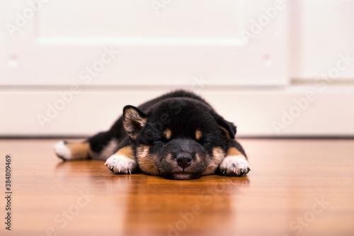 Fotografie, Tablou Black and tan shiba inu puppies Sleeping on the wooden floor