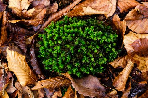 Fotografie, Tablou Une mousse dans les feuille d'automne en forêt