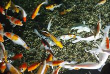 Beautiful King Koi Fish (Cypri...