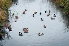Many Ducks Swim Randomly In Th...
