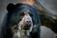 Portrait Of A Spectacled Bear