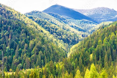 Obraz Sunny pine tree forest on blue mountain - fototapety do salonu