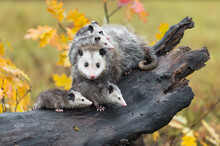 Virginia Opossum (Didelphis Virginiana) Looks Out And Joeys Look Right On Log Autumn