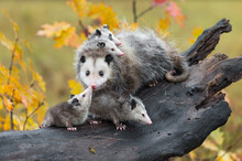 Virginia Opossum (Didelphis Virginiana) Joey Touches Mother On Nose Autumn