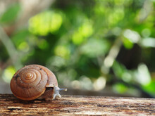 Snail Slow Walk On Wood And Green Background