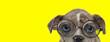 Leinwandbild Motiv curious american bully dog wearing glasses
