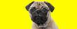 Leinwandbild Motiv sad pug dog wearing glasses and looking to side