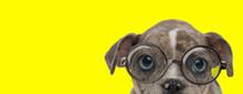 Curious American Bully Dog Wea...