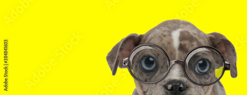 curious american bully dog wearing glasses