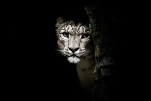 Snow Leopard, Panthera Uncia, ...