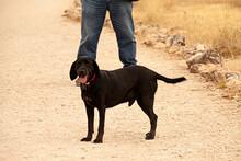 Perro Labrador Negro De Paseo ...