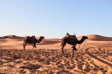 Dromedaries Ready To Go Desert