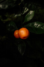 Two Oranges Hanging On A Tree