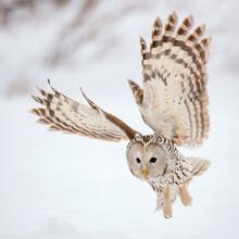 Yral Owl