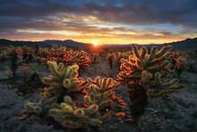 Sunrise Over The Cholla Cactus...