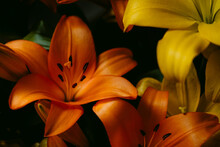 Close Up Of Orange Lily Flowers