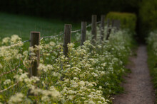 Cow Parsley Along A Lane In The Evening Light.