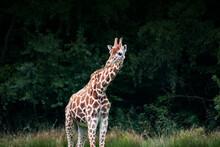 Single Giraffe In The Zoo. Kee...