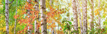 Birch Grove On Sunny Autumn Day, Beautiful Landscape Close-up Through Foliage And Tree Trunks, Panorama, Banner