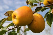 Pommes En Automne Au Moment De La Cueillette, Mûres à Point
