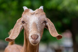 Capra aegagrus hircus Anglo-nubian goat funny farm animal with cool long ears and brown hair on pasture