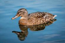A Female Mallard Duck In Clear Water