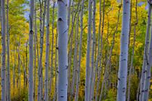 Colorado Aspens Fall 2020