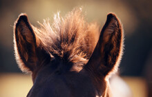 Ears And Sticking Mane Red Foal.