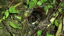 Tarantula Malaysia