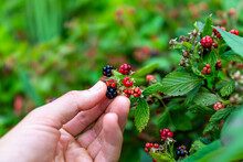 Hanging Black And Red Ripe Blackberries Ripening On Plant Bush Garden Farm With Man Hand Picking Holding Fruit