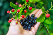 Hanging Many Black And Red Ripe Blackberries Ripening On Plant Bush Garden Farm With Man Hand Picking Holding Fruit