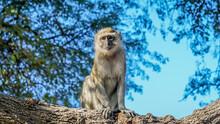 Vervet Monkey In A Tree In Okavango Delta In Botswana Africa On Safari Luxury Travel Tail Monkey Business Cute Travels Africa Adventure Tourism Tourist Wildlife Photography