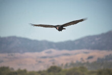 Huge Red Faced California Condors At The Coast