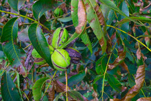 Pecans On A Tree Ready To Harvest Close Up